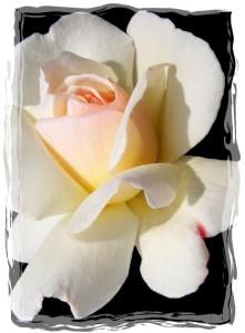 rose 39-framed