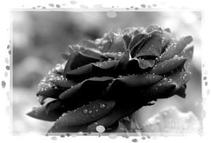 rose 60-framed